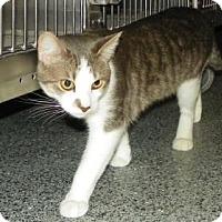 Adopt A Pet :: Oreo - Lowell, MA