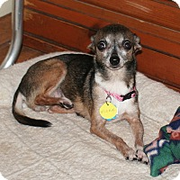 Chihuahua Dog for adoption in Umatilla, Florida - Nicki