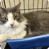 Adopt A Pet :: Lucky Strike (declawed) - Warren, MI