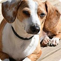 Adopt A Pet :: Beanie Weenie, 2 yrs, $350 fee - Spokane, WA