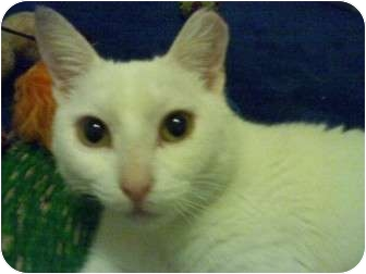 American Shorthair Cat for adoption in Bunnell, Florida - Snow White
