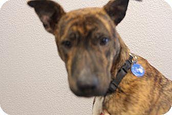 Catahoula Leopard Dog/Carolina Dog Mix Dog for adoption in Pflugerville, Texas - Parker