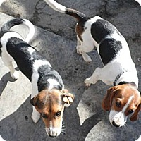 Adopt A Pet :: Ginger Snap - Cincinnati, OH