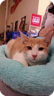 Manx Cat for adoption in Houston, Texas - Tucker