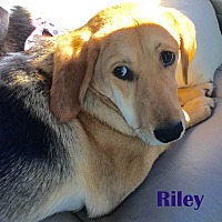 Adopt A Pet :: Riley - Orangeburg, SC