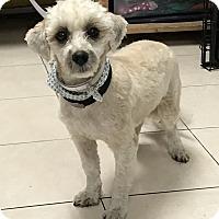Adopt A Pet :: Yogi - Los Angeles, CA