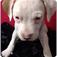 Adopt A Pet :: Adele - DeForest, WI
