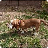 Adopt A Pet :: Lady Jane - Phoenix, AZ
