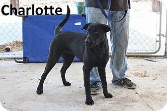 German Shepherd Dog/Labrador Retriever Mix Dog for adoption in Leslie, Arkansas - Charlotte