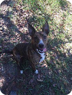 Bull Terrier/Dutch Shepherd Mix Dog for adoption in Bishopville, South Carolina - Hope
