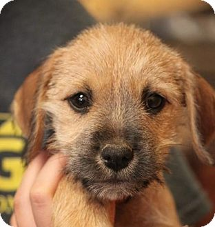 Miniature Schnauzer/Beagle Mix Puppy for adoption in Jewett City, Connecticut - Lavern - ADOPTED!