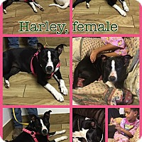 Bull Terrier Mix Dog for adoption in Ravenna, Texas - Harley