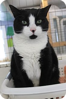 Domestic Shorthair Cat for adoption in Richand, New York - Pawla