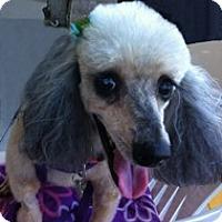 Adopt A Pet :: COCO PUFF - Melbourne, FL