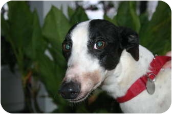 Greyhound Dog for adoption in Knoxville, Tennessee - Abby's Home