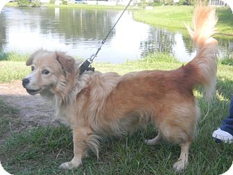Welsh Corgi/Sheltie, Shetland Sheepdog Mix Dog for adoption in Jacksonville, Florida - Rango