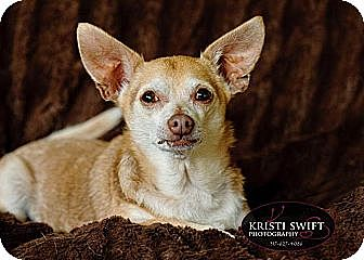Chihuahua Dog for adoption in Indianapolis, Indiana - Miguel