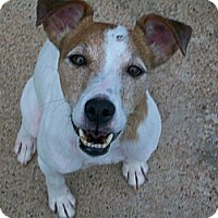 Adopt A Pet :: Tommy in Houston - Houston, TX