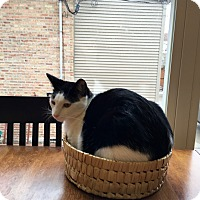 Adopt A Pet :: Maus - Chicago, IL