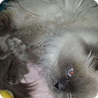 Adopt A Pet :: Isabella - Columbus, OH