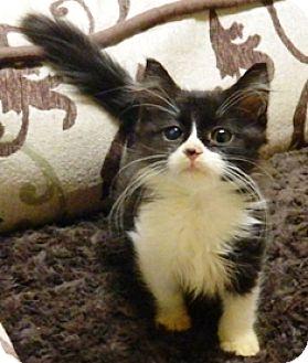 Domestic Longhair Kitten for adoption in Columbus, Nebraska - Honey