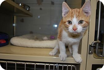 Domestic Shorthair Kitten for adoption in New Castle, Pennsylvania - Schmidt