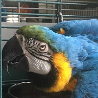 Macaw for adoption in Punta Gorda, Florida - Lucky