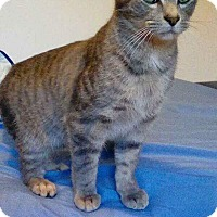 American Shorthair Cat for adoption in McArthur, Ohio - calvin
