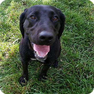 Labrador Retriever Mix Dog for adoption in Washington DC, D.C. - Kennedy
