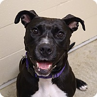 Pit Bull Terrier Mix Dog for adoption in Columbia, Illinois - Charm