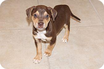 Labrador Retriever/Hound (Unknown Type) Mix Puppy for adoption in Marietta, Georgia - Cocoa