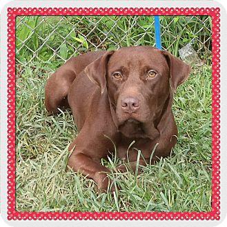 Labrador Retriever Mix Dog for adoption in Marietta, Georgia - MASIYH