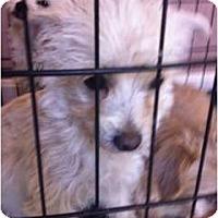 Adopt A Pet :: Lola - Milan, NY