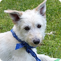 Adopt A Pet :: Sheldon - Mocksville, NC