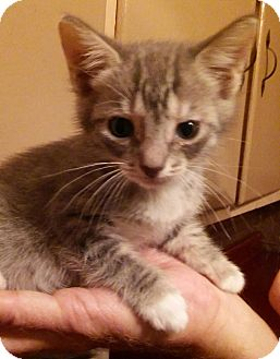 Domestic Shorthair Kitten for adoption in Parkton, North Carolina - Sassy