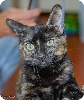 Domestic Shorthair Kitten for adoption in Prescott, Arizona - Tiger Lily