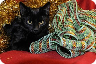 Domestic Shorthair Kitten for adoption in Wayne, New Jersey - Bridgette