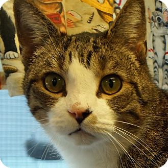 Domestic Shorthair Cat for adoption in Sprakers, New York - Arnold
