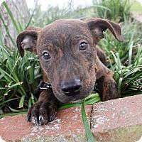 Catahoula Leopard Dog Puppy for adoption in Ocala, Florida - Jack