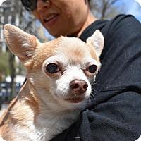Adopt A Pet :: Bisquit Apple Head - Woodland Park, NJ