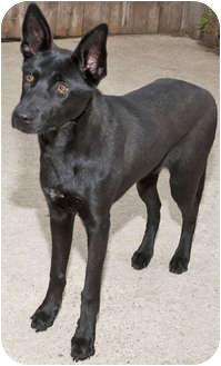Labrador Retriever/Shepherd (Unknown Type) Mix Puppy for adoption in Mt. Prospect, Illinois - Cupcake