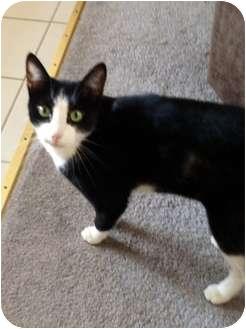 Domestic Shorthair Cat for adoption in Morgan Hill, California - Isabella (Bella)