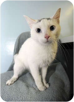 Domestic Shorthair Cat for adoption in New York, New York - Star
