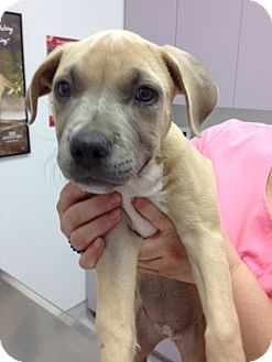 American Pit Bull Terrier Mix Puppy for adoption in San Diego, California - Blossom