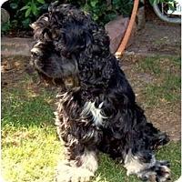 Adopt A Pet :: Loki - Tacoma, WA