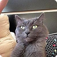 Adopt A Pet :: Ivy - Laguna Woods, CA