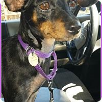 Adopt A Pet :: Bitsy - Sacramento, CA