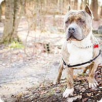 Adopt A Pet :: Big Boy - Tinton Falls, NJ
