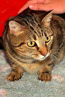 Domestic Shorthair Cat for adoption in Sebastian, Florida - Khan