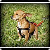 Adopt A Pet :: Chippy - Indian Trail, NC